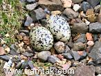 Oystercatcher eggs near Hvalba on Su�uroy